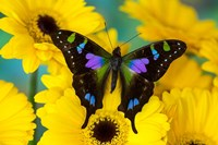 Purple Spotted Swallowtail Butterfly Fine Art Print