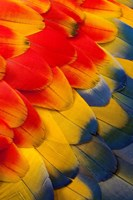 Scarlet Macaw Wing Covert Feathers 2 Fine Art Print