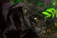 Black Jaguar, Belize City, Belize Fine Art Print