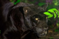 Black Jaguar, Belize City, Belize Fine Art Print