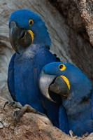 Brazil, Pantanal Wetlands, Hyacinth Macaw Mated Pair On Their Nest In A Tree Fine Art Print