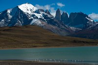 Chilean Flamingo On Blue Lake, Torres Del Paine NP, Patagonia Fine Art Print