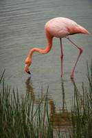 Greater Flamingo, Punta Moreno Isabela Island Galapagos Islands, Ecuador Fine Art Print