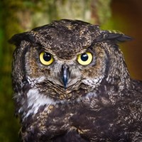 Alaska Raptor Center, Sitka, Alaska Close-Up Of A Great Horned Owl Fine Art Print