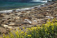 Northern Elephant Seals Sun Bathing In Cali Fine Art Print