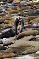 Northern Elephant Seals Fighting, California Fine Art Print