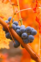 Dew Covered Grapes In Napa Valley Fine Art Print