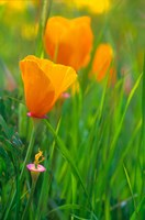 California Golden Poppies Fine Art Print