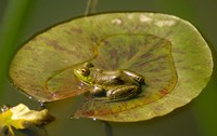 Californian Frog On A Lilypad Fine Art Print