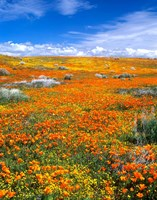 California Poppy Reserve Near Lancaster, California Fine Art Print