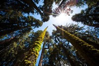 Upward View Of Trees In The Redwood National Park, California Fine Art Print