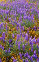 Californian Poppies And Lupine Fine Art Print