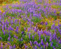 Carrizo Plain National Monument Lupine And Poppies Fine Art Print