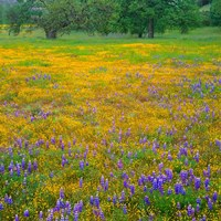 Lupine And Goldfields At Shell Creek Valley, California Fine Art Print