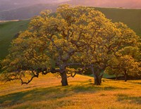 Sunset Soaked Oak Trees, California Fine Art Print