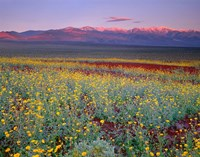 Desert Sunflower Landscape, Death Valley NP, California Fine Art Print