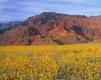 Black Mountains And Desert Sunflowers, Death Valley NP, California Fine Art Print
