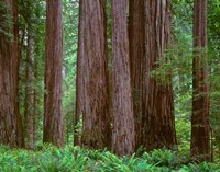 Redwoods Tower Above Ferns At The Stout Grove, California Fine Art Print
