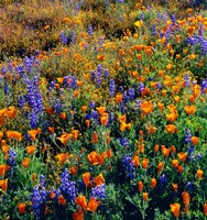 Douglas Lupine And California Poppy In Carrizo Plain National Monument Fine Art Print