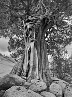 California, High Sierra Juniper Tree (BW) Fine Art Print