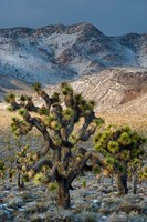 Joshua Trees In The Snow Fine Art Print