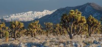 Panoramic View Of Joshua Trees In The Snow Fine Art Print