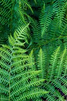 Bracken Fern In Nature Fine Art Print