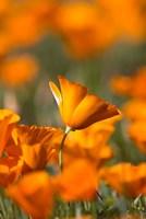Detail Of Golden California Poppy In Antelope Valley Fine Art Print