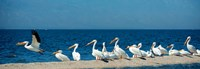 Panoramic Pelicans On The Shore Of The Salton Sea Fine Art Print