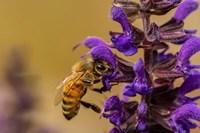 Honey Bee On Salvia Blossoms Fine Art Print