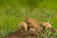 Prairie Dog Family On A Den Mound Fine Art Print