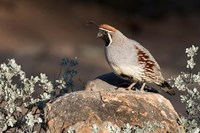 Gambel's Quail On A Rock Fine Art Print