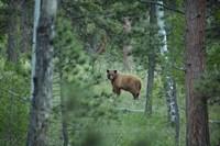 Cinnamon Phase Black Bear In A Forest Fine Art Print