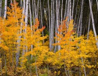 Autumn Aspen Grove In The Grand Mesa National Forest Fine Art Print