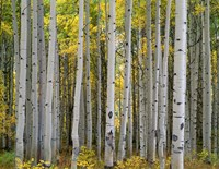 Aspen Displays Fall Color In The West Elk Mountains Fine Art Print
