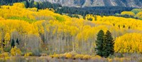 Autumn Grove Panorama At The Base Of The Ruby Range Fine Art Print