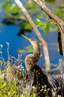 Anhinga In Everglades NP, Florida Fine Art Print