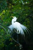 Egret In Breeding Plumage Fine Art Print