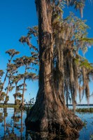 Pond Cyprus And Spanish Moss In A Swamp Fine Art Print