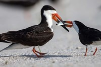 Black Skimmer Fighting Over A Minnow Fine Art Print