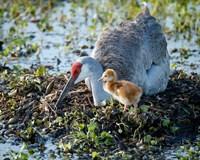 Sandhill Crane Waiting On Second Egg To Hatch, Florida Fine Art Print