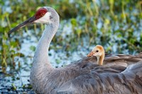 Baby Sandhill Crane On Mother's Back, Florida Fine Art Print