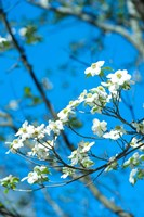 Flowering Dogwood, Savannah, Georgia Fine Art Print