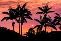 Sunset Through Silhouetted Palm Trees, Kona Coast, Hawaii Fine Art Print