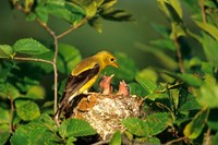 American Goldfinch With Nestlings At Nest, Marion, IL Fine Art Print