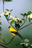 American Goldfinch In A Dogwood Tree, Marion, IL Fine Art Print