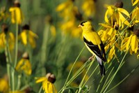 American Goldfinch On Gray-Headed Coneflowers, Marion, IL Fine Art Print