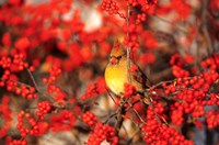 Northern Cardinal In Common Winterberry Marion, IL Fine Art Print