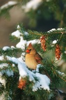 Northern Cardinal In A Spruce Tree In Winter, Marion, IL Fine Art Print