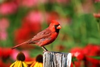 Northern Cardinal On A Fence Post, Marion, IL Fine Art Print